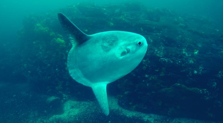 Humboldt pez luna Burlador.png